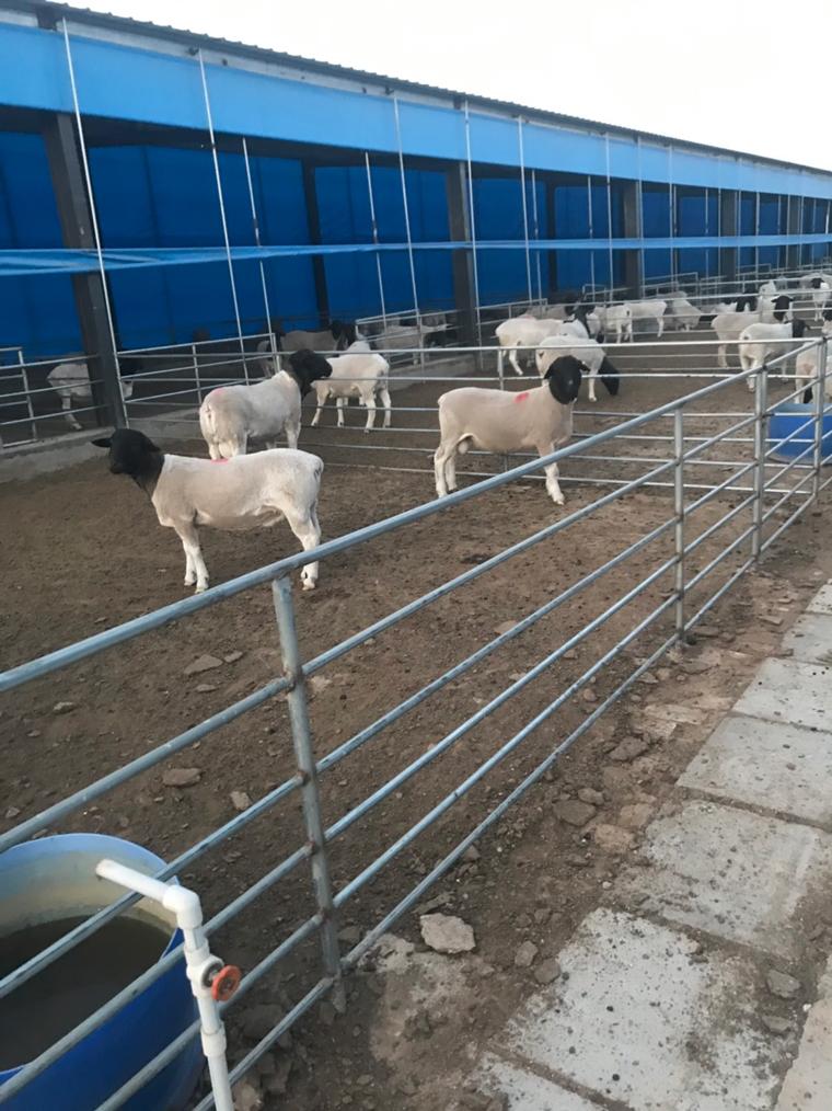 禁抗,草食动物,养兔,养牛,养羊